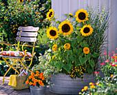 Helianthus (Sunflower), Miscanthus 'Zebrinus'