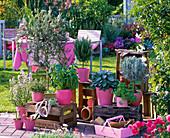 Herb terrace with rosemary (Rosemary), Ocimum