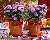 Aster novi-belgii, in planters