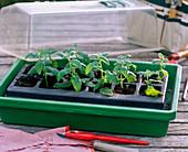 Nepeta 'Sixhill Giant' (catnip) cuttings propagation