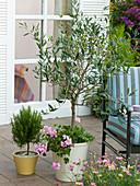 Olea europaea (Olive tree), Rosmarinus (Rosemary), Pelargonium