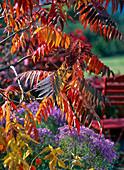 Red autumn leaves of rhus typhina (vinegar tree)