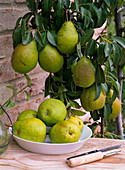 Pyrus 'Delicious of Charneux' (pear)