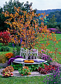 White metal bench in front of Malus (ornamental apple), tree in autumn color