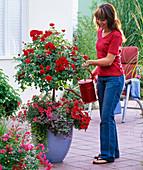 Rose 'Medley Red', often flowering, stem,