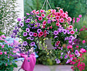 Hanging basket with Petunia (Petunia), Nemesia