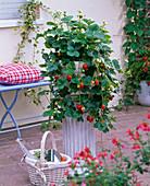 Fragaria (hanging strawberry) in white bowl on pillar