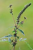 Ambrosia artemisiifolia (ragweed)