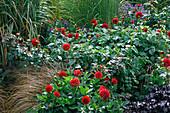 Dahlia, Rosa (Rose), Carex (Herbstsegge), Heuchera