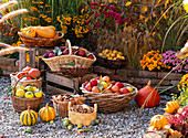 Baskets of freshly harvested cucurbita (pumpkin), malus (apple)