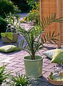 Phoenix canariensis (date palm) in bright green planter