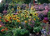 Farm garden with Helianthus, Rudbeckia