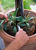 Repot banana plant