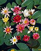 Water lilies board