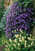Campanula portenschlagiana (bellflower)