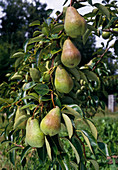 Pyrus 'Clapps darling' (pear) on branch