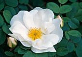 Pink pimpinellifolia 'Double White' (Botanical Rose)