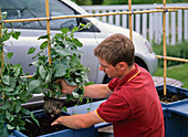 Make privacy screens out of Ipomoea