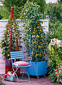 Planting red tubs with Thunbergia