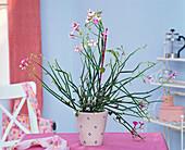 Pelargonium tetragonum (succulent geranium), cloth