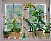 Orchideen am Fenster : Odontoglossum, Paphiopedilum (Frauenschuh), Dendrobium