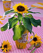 Helianthus annuus (mini sunflower) in cup, flowers