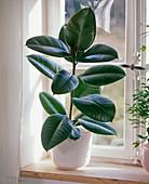 Ficus elastica 'Decora' (Gummibaum) am Fenster