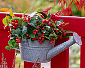 Gaultheria procumbens (mint berry) in a small zinc watering can