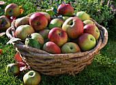 Basket of freshly harvested malus (apples)
