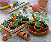 Split perennials isolated as young plants in clay pots
