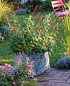 Salvia rutilans (pineapple sage) in colorful bag