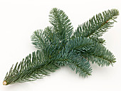 Abies nobilis (Nobilistanne) branch as a cut-out