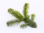 Abies nordmanniana (Nordmann fir)branch as a cut-out