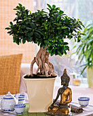 Ficus nitida 'ginseng' (rubber tree) as bonsai