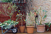 Potted plants cut back in the fall for wintering