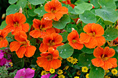 Tropaeolum majus (nasturtium) with orange flowers