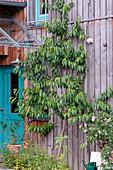 Prunus persica (peach tree) as trellis on wooden house wall