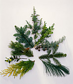 Branches for Christmas baubles lying in a fir shaped pattern in a clockwise direction