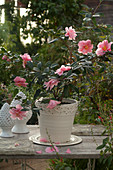 Camellia sasanqua 'Shibori Egao' (camellia), blooms at Christmas