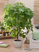 Room tree, Sparmannia africana (African hemp)