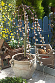 Salix 'Kilmarnock' (kitten pasture) in a light clay pot with handles