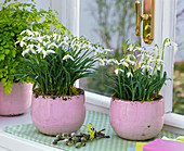 Put snowdrops in pink pots