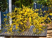 Jasminum nudiflorum (winter jasmine) in container on table