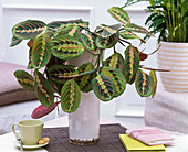 Maranta leuconeura 'Fascinator' (arrowroot)