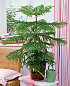 Araucaria heterophylla (room fir) in rattan planter