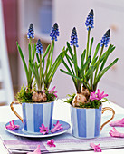 Muscari in cups, flowers of Hyacinthus