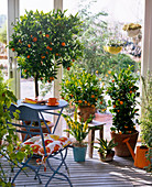 Citrus, Agave, Acacia in the conservatory, chair
