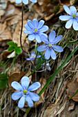 Hepatica transsylvanica (Leberblümchen)