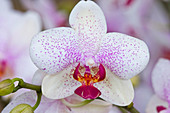 Phalaenopsis (Malayenblume, Schmetterlingsorchidee)