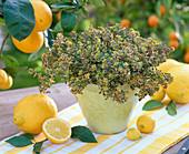 Thymus citriodorus 'Golden King' (lemon thyme)